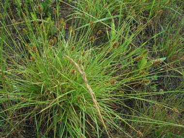 Онтогенез и ритм сезонной вегетации осоки лисьей.