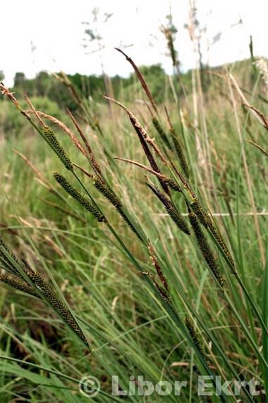 Онтогенез и ритм сезонной вегетации осоки омской.
